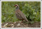 Title: Red-legged Partridge (Alectoris rufa )