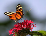 Title: Tiger Longwing #1