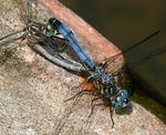 Title: Blue Dasher Pair