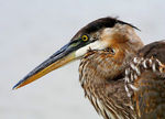 Title: Great Blue Heron Profile