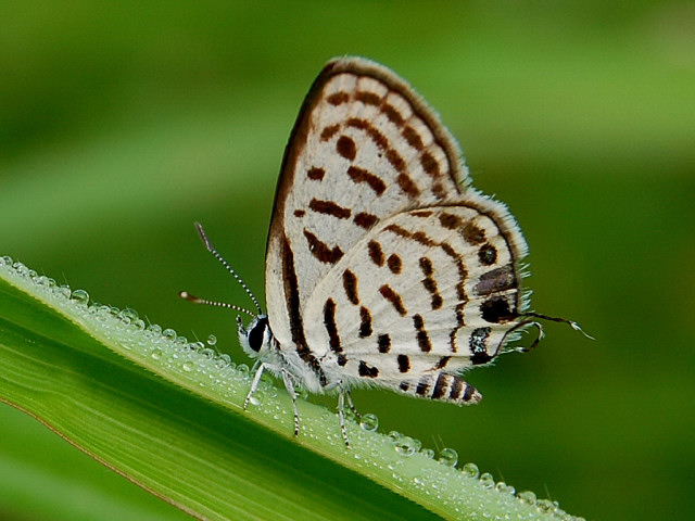 Rounded Pierrot