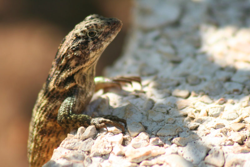 Lounging lizzard