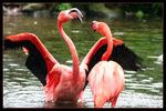 Title: Flamingo fight