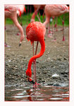 Title: Drinking pink flamingo