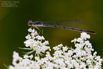 Title: Damselfly on Flowers
