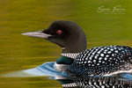 Title: Common Loon