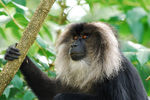 Title: Lion-tailed macaque