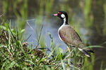 Title: Red-wattled Lapwing (Vanellus indicus)