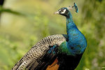Title: Indian peacock