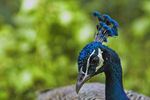 Title: Indian peafowl
