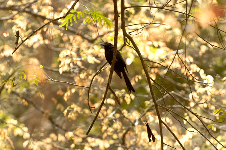 Racket -tailed Drongo