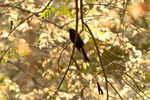 Title: Racket -tailed Drongo