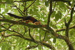 Title: Malabar giant squirrel