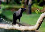 Title: House Crow