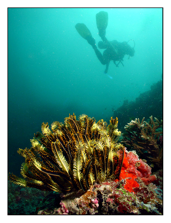 Diver over crinoids