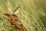 Title: Whinchat