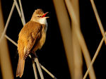 Title: Great Reed Warbler