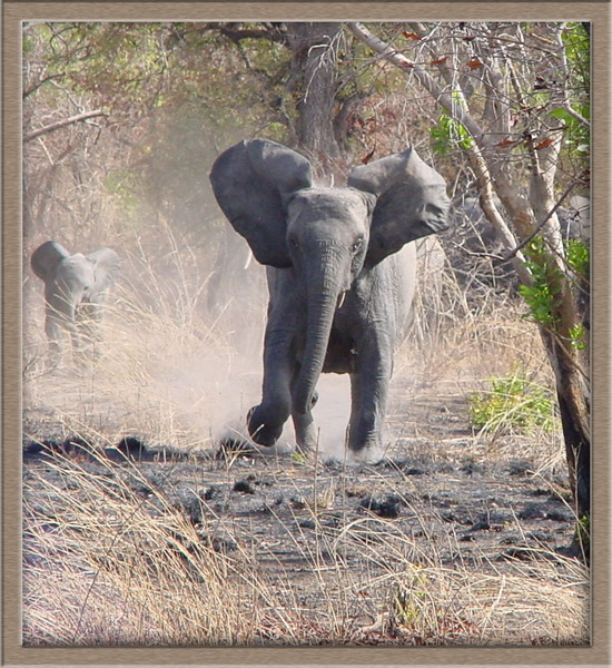 The olifant charge