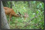 Title: Mother and Fawn