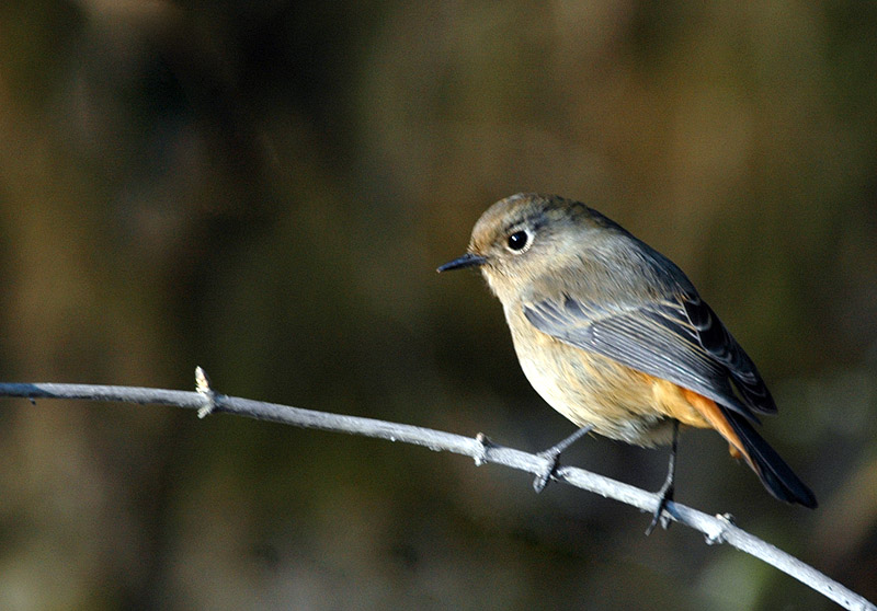 Blue Fronted Redstart Female