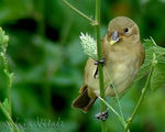 Title: Double-collared Seedeater