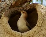 Title: Rufous Hornero and its house