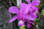 Title: Pink orchid (Cattleya nobilor)