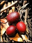 Title: Buriti fruits