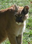 Title: Cougar at Grandfather Mountain, NC