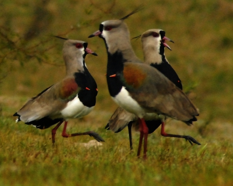 Lapwing March