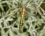 Title: Black-tailed Skimmer