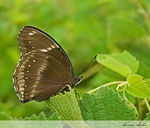 Title: GREAT EGGFLY