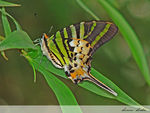 Title: FIVE-BAR SWORDTAIL