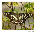 Title: CHEQUERED SWALLOWTAILSony Cybershot DSC-H2