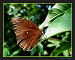Title: COMMON PALMFLY