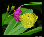 Title: COMMON GRASS YELLOW