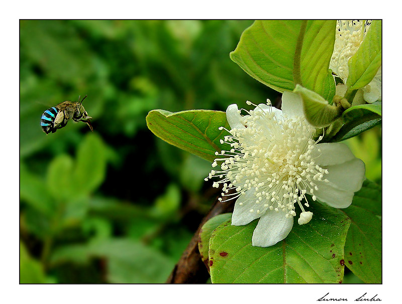 THE FRAGRANCE OF GUAVA