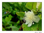 Title: THE FRAGRANCE OF GUAVA