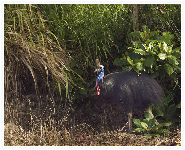 Our Hunt for the Elusive Cassowary