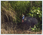 Title: Our Hunt for the Elusive Cassowary