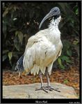 Title: Ibis On A Rock