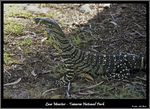 Title: Lace Monitor