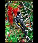 Title: New Holland Honeyeater
