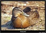 Title: Resting Duck