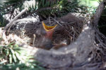 Title: Baby Robins