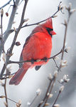 Title: Red Cardinal Bird