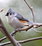 Title: Tufted Titmouse Bird