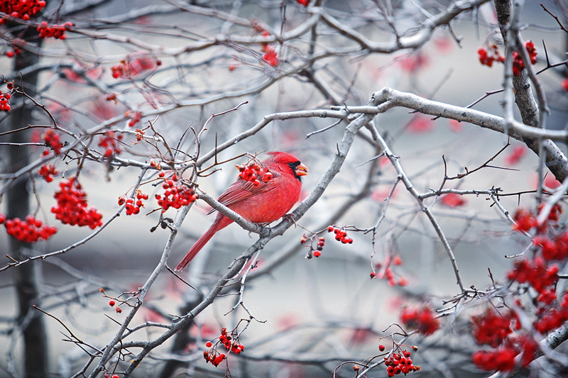 Red Cardinal - Red Berries