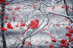 Title: Red Cardinal - Red Berries