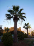 Title: Washingtonia starting to bloom